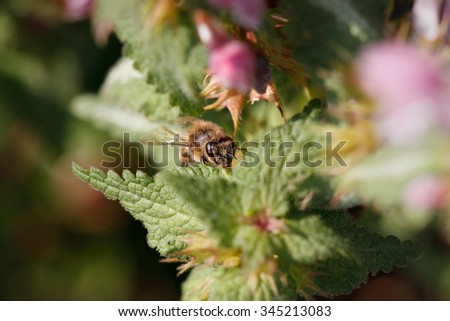 Bumblebee sucking pollen of wildflowers in a meadow from northern Portugal - stock photo
