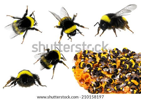 Bumblebees and honeycombs. Close up . Isolated on the white background  - stock photo