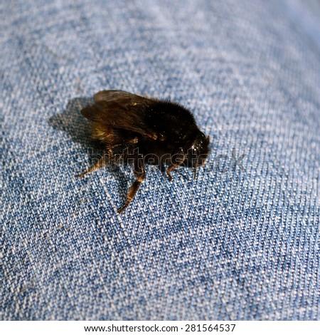 Bumbus - Bumble Bee On Denim - stock photo