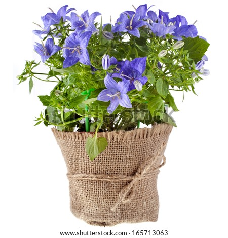 bunch bouquet of bluebell flowers for Valentine's Day isolated on white background - stock photo