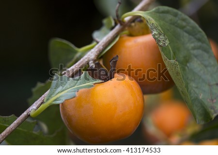 Bunch - macro - Ripe persimmons - Diospyros kaki L. - persimmon tree - stock photo