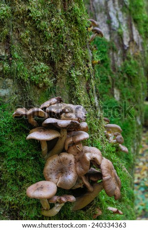 Bunch of autumnal Honey Fungus grows over mossy stump - stock photo