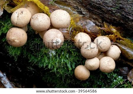 Bunch of autumnal puff-ball fungus closeup - stock photo