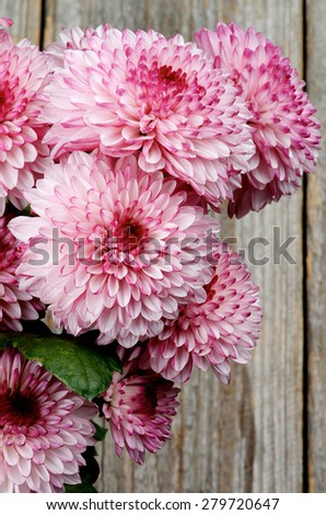 Bunch of Big Beautiful Pink and Red Chrysanthemum closeup on Rustic Wooden background - stock photo