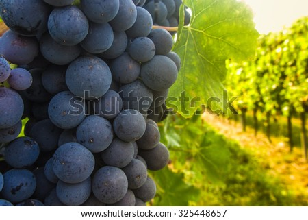 Bunch of big ripe red grapes in light - stock photo