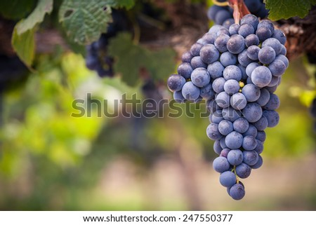 Bunch of black grapes on vine close-up - stock photo
