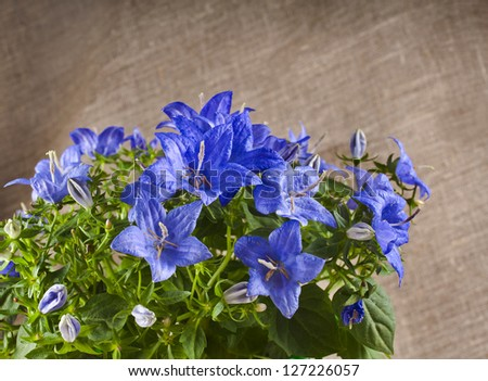 bunch of blue color campanula flowers on canvas texture with copyspace - stock photo