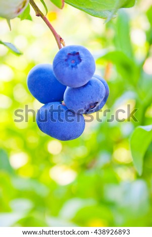 bunch of blueberries on the bush in the garden - stock photo