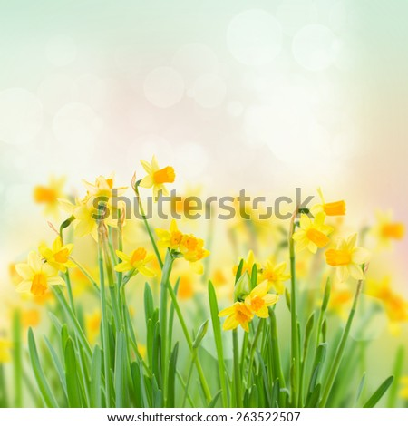 bunch  of bright spring yellow daffodils  in garden  - stock photo