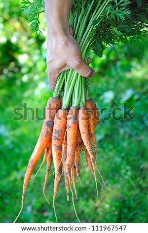 Bunch of carrots in a hands with soft background - stock photo