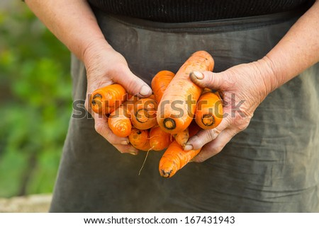 Bunch of carrots pulled from the vegetable garden in old woman hands - stock photo