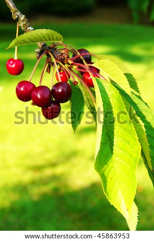 Bunch of cherries on a branch - stock photo