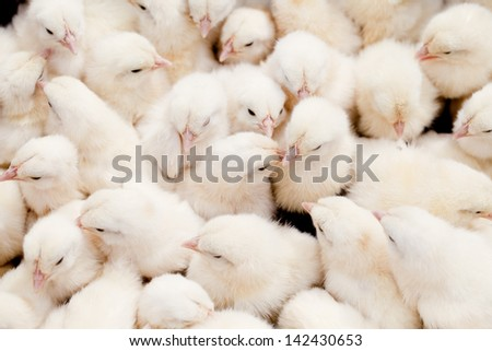 Bunch of  chicks - stock photo