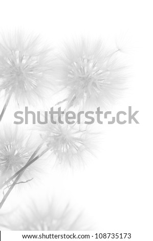 Bunch of dandelions on white background. Black&white, high key. - stock photo