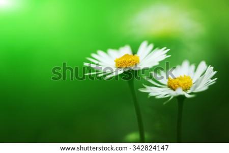 Bunch of flowering white daisies - stock photo