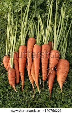 Bunch of fresh carrots - stock photo
