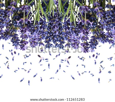 bunch of fresh lavender flowers isolated on white background - stock photo