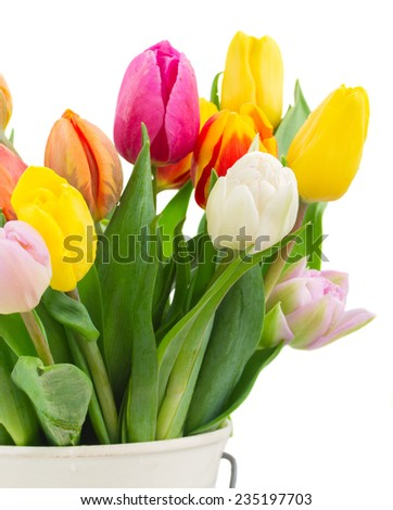 bunch of fresh multicolored  tulip flowers in white pot  close up   isolated on white background - stock photo