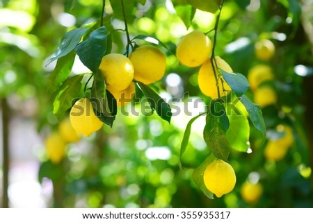 Bunch of fresh ripe lemons on a lemon tree branch in sunny garden - stock photo