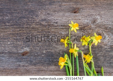bunch of fresh spring yellow daffodils on wooden background - stock photo
