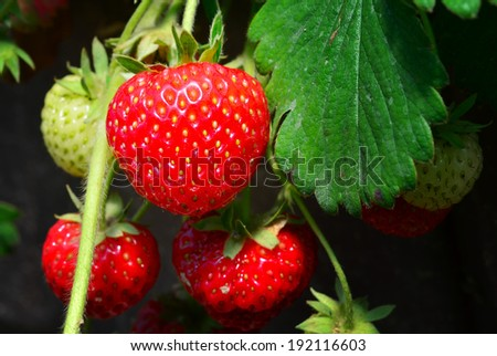Bunch of fresh strawberries growing on a field, natural look - stock photo