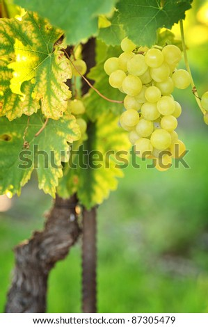 Bunch of golden grapes on grapevine right before harvest - stock photo