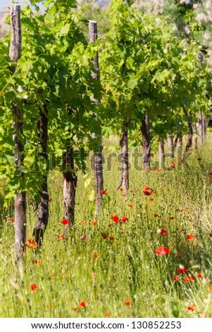 bunch of grape in the vinyard - stock photo
