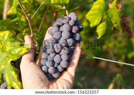 Bunch of grapes held in the hand. Nebbiolo variety of grape is used to produce the finest Italian red wines like Barolo and Barbaresco. - stock photo