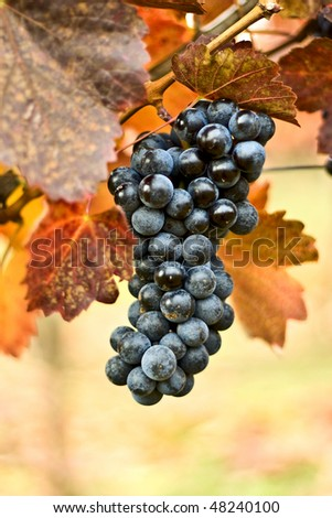 Bunch of grapes on the vine - stock photo