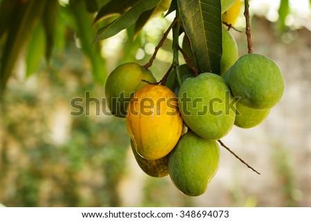 Bunch of green and ripe orange  mango on tree. Selective focus on orange mango. Selective focus - stock photo