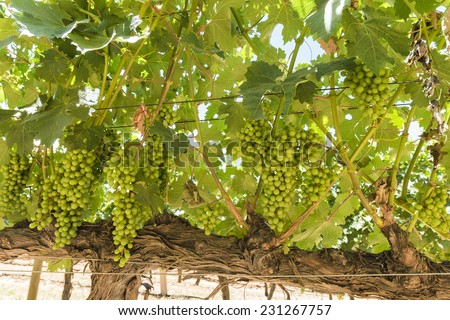 Bunch of green grapes on vines on a wineland vineyard during summer in Cape Town South Africa - stock photo