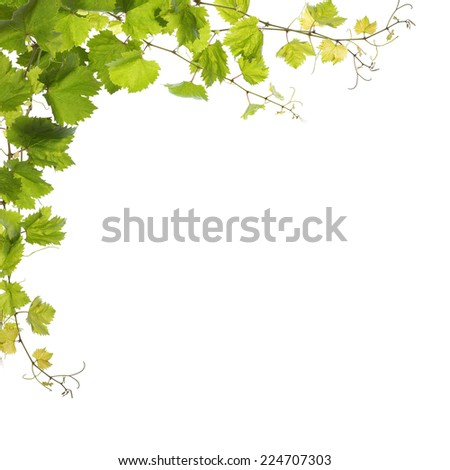 Bunch of green vine leaves - stock photo