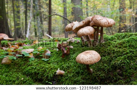 Bunch of Honey Fungus  grows on moss wrapped broken tree closeup - stock photo