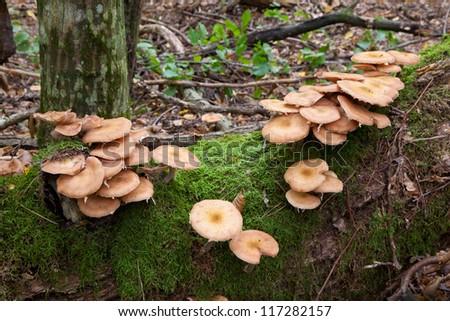 Bunch of Honey Fungus  grows on old hornbeam tree closeup - stock photo
