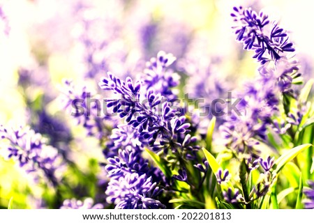 Bunch of Lavender Flowers background - stock photo