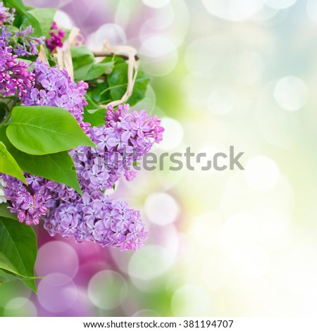 Bunch  of lilac flowers with green leaves  in spring garden  - stock photo