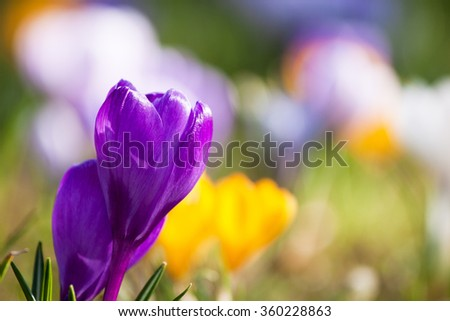 Bunch of mixed colour crocuses in the grass - stock photo