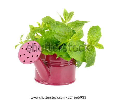 Bunch of Perfect Raw Fresh Green Mint Leafs in Purple Watering Can isolated on white background - stock photo