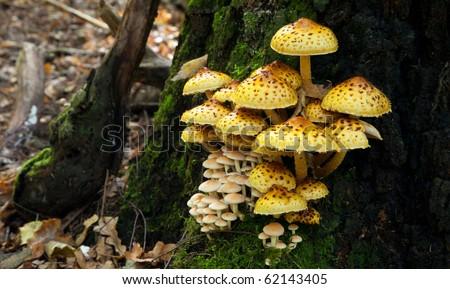 Bunch of pholiota fungi grows on oak tree butt - stock photo