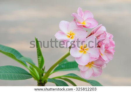 Bunch of pink Frangipani, Frangipanni,  or plumeria tropical flowers - stock photo