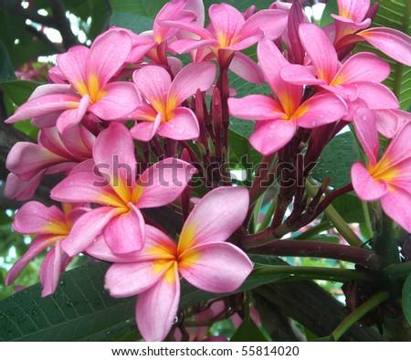 bunch of pink frangipani plumeria flowers on tree - stock photo