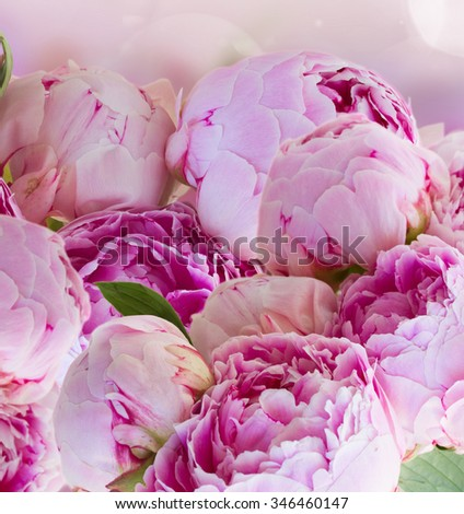 bunch of pink  peony flowers on fancy bokeh background - stock photo
