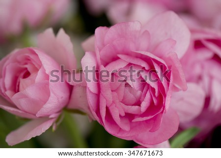 bunch of pink ranunculus - stock photo