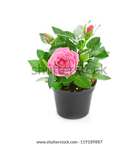 Bunch of pink roses in flowerpot. - stock photo