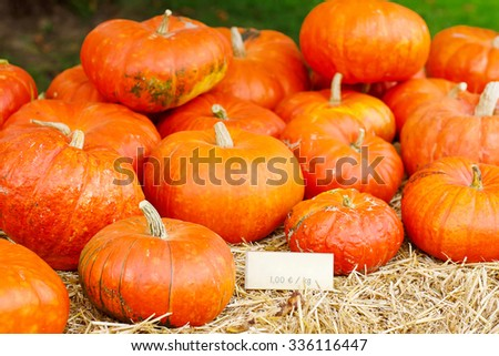 bunch of plump and juicy holiday pumpkins on farm or patch. Orange pumpkins for Jack o'lantern or thanksgiving - stock photo