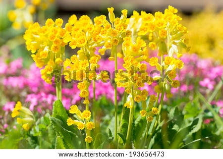 Bunch of Primula veris in garden in sunlight during early summer, Sweden - stock photo