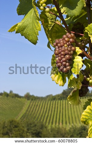 Bunch of purple grapes with vineyard in the background - stock photo