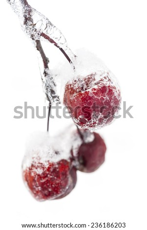 Bunch of red crab apples frozen and covered with ice on snowy branch in winter isolated on white background - stock photo