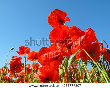 Bunch of red poppy against blue sky. Beautiful countryside scenery. - stock photo