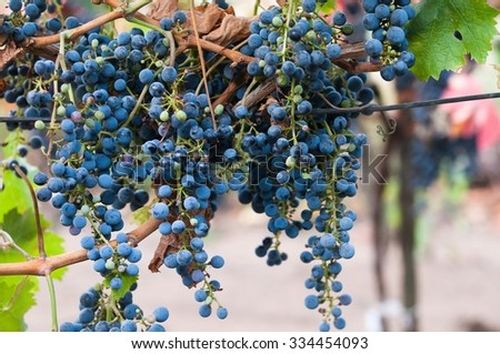 Bunch of red wine grape Cabernet Sauvignon in vineyard ready to harvest. - stock photo